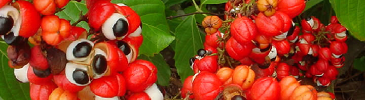 guarana-in-energy-drinks
